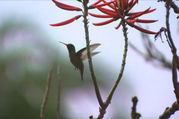 Nossa Terra mostra beija-flor do Rio Grande do Sul (Foto: Divulgação/RBS TV)