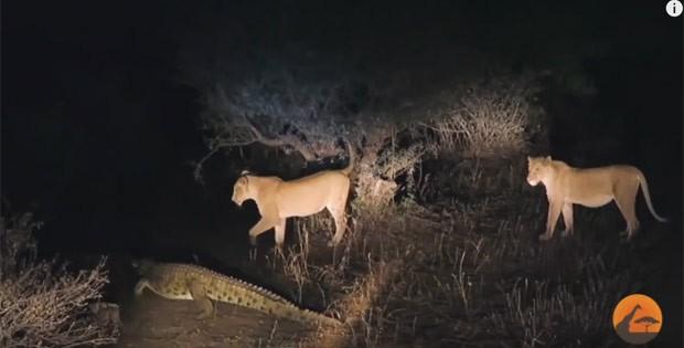 Crocodilo foi filmado tentando roubar a refeição de leoas (Foto: Reprodução/YouTube/Kruger Sightings)
