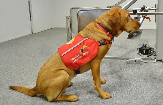 Cachorro fareja amostra no centro de pesquisa do Medical Detection Dogs (Foto: Divulgação)