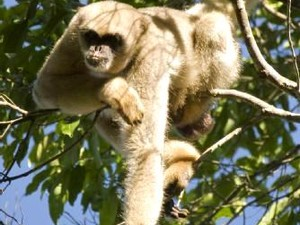 Macaco Muriqui (Foto: Ascom Cordeiro/Divulgação)