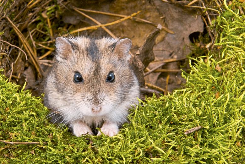 hamster-como-criar-edicao-370-agosto-2016 (Foto: Thinkstock)