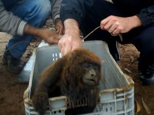 Macaco foi encontrado ferido (Foto: GCM de Botucatu/Divulgação)