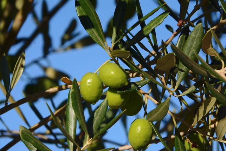 azeite-oliva-oliveira-azeitona-olivicultura (Foto: Divulgação/ Embrapa)