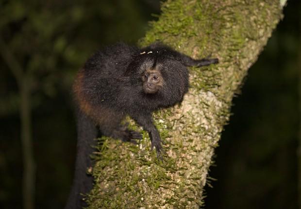 Mico-leão-preto na floresta (Foto: Divulgação)