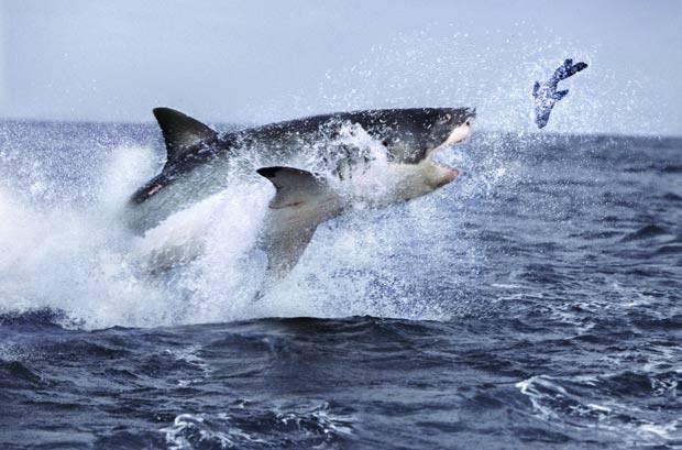 Flagra feito pelo fotógrafo Steve Bloom mostra um grande tubarão branco caçando uma foca na África do Sul. A imagem divulgada pela agência 'Barcroft Media' em julho de 2011 mostra o predador saltando fora d'água para alcançar a presa. (Foto: Steve Bloom/Barcroft Media/Getty Images)