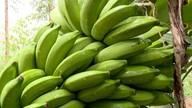 Produção de banana dobra em dois anos no Norte do ES