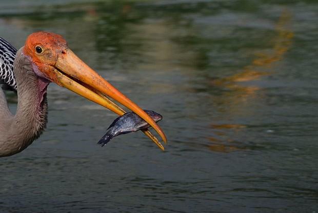 Fotógrafo registrou momento em que cegonha capturou peixe em lagoa (Foto: Sajjad Hussain/AFP)