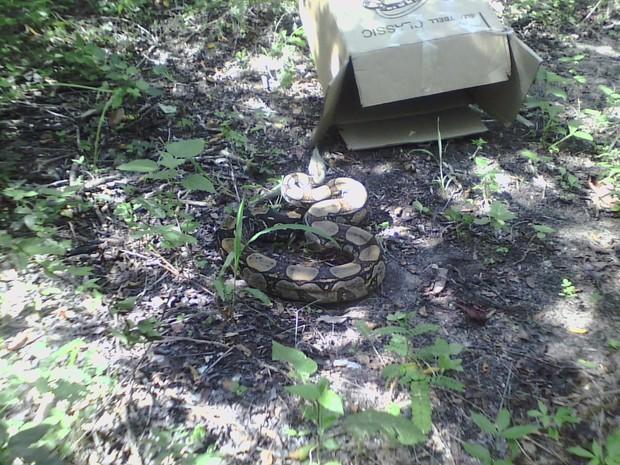 Cobra foi solta na Serra de Sapiatiba (Foto: Divulgação / Guarda Ambiental)