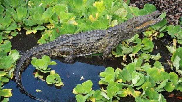 Um dos três crocodilos-do-nilo foram encontrados em um pântano da Flórida. (Foto: BBC)
