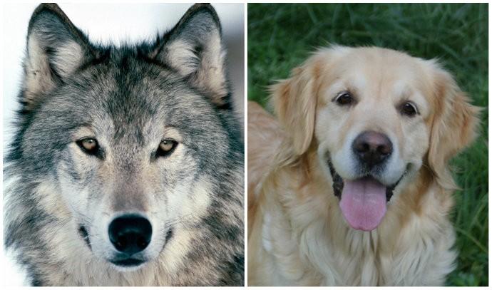 Lobos e cachorros possuem formas diferentes de agir entre suas matilhas (Foto: Reprodução)