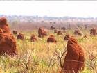 Vaga-lumes usam artifício curioso para 'caçar' no Parque das Emas