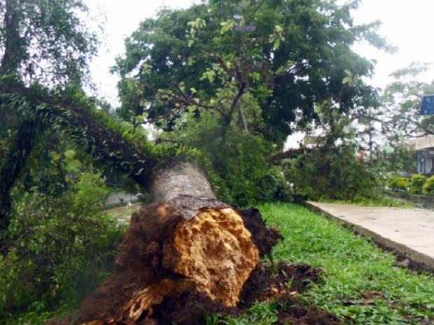 Árvore que ficava no canteiro central da Avenida João Pinheiro caiu sobre pista de caminhada. (Foto: Reprodução EPTV)