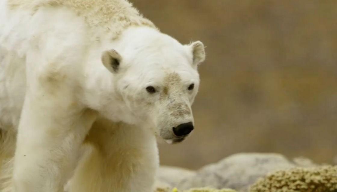 Urso é avistado morrendo de inanição em ilha do Ártico canadense (Foto: Reprodução / Paul Nicklen)