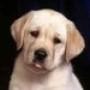 Proteção de Tela: Pretty Puppies