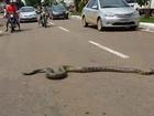 Veículos param para sucuri atravessar avenida em Porto Velho; vídeo