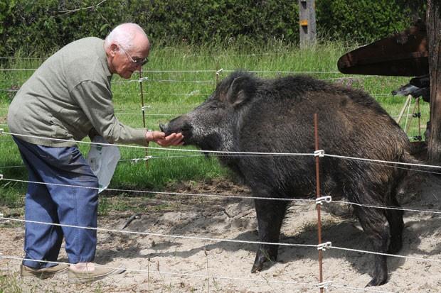 Um casal de aposentados franceses adotou há pouco mais de um ano um animal diferente como bicho de estimação. Yvan Blaise, de 83 anos, e sua mulher fizeram um cercado no quintal de casa para o javali selvagem que eles apelidaram de Bamby. (Foto: Remy Gabalda/AFP)
