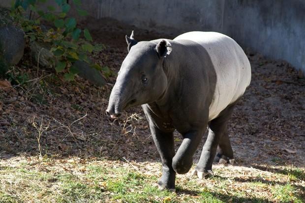 Anta malaia, ou Tapirus indicus, é a única espécie que restou na Ásia  (Foto: Reprodução/Flickr/Sara E)