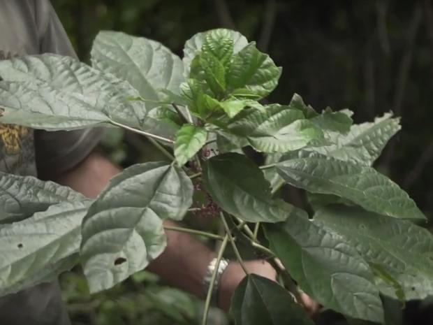 Urtiga-mansa (Foto: reprodução)