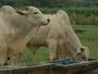 Boi gordo e vaca gorda mantém alta nos preços em Mato Grosso, diz Imea