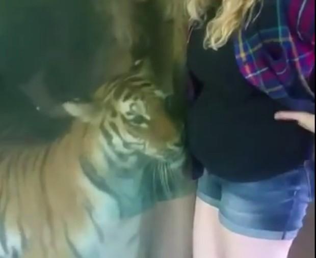 A tigresa parecia encantada com a barriga da visitante (Foto: Reprodução/Youtube)
