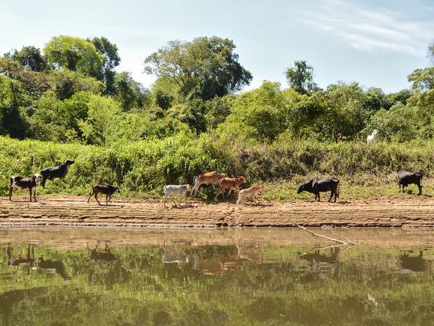 Pecuária é um dos grandes problemas para o assoreamento do Rio Piracicaba  (Foto: Mauricio Gil/arquivo pessoal)