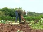 Produtores de inhame antecipam a colheita e aproveitam o preço em MG
