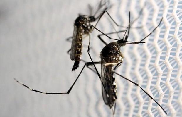 Enfraquecimento de medidas contra Aedes permitiu reintrodução do inseto no país