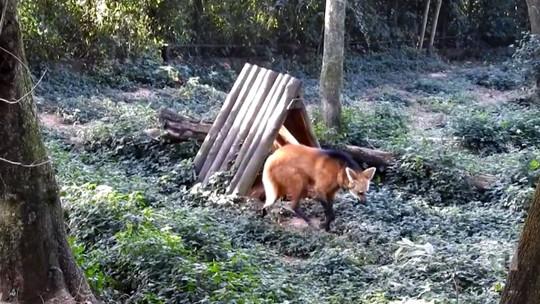 Após 12 anos, Zoológico de Bauru volta a registrar nascimento de lobo-guará