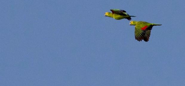 Papagaio-verdadeiro no céu do Pantanal (Foto: Divulgação/Sustentar)