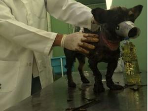 Cão já iniciou o tratamento em uma clínica veterinária (Foto: Pedro Luís)