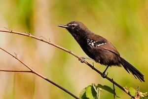 Bicudinho é ave em extinção (Jefferson Renan de Araújo Leite)