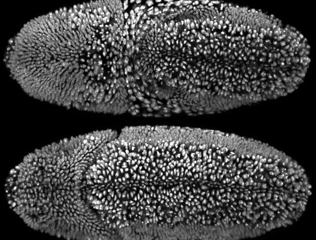 Sequência de imagens que venceu concurso mostra vários estágios de desenvolvimento do embrião de uma mosca-da-fruta durante um período de 24 horas; vídeo ajuda a entender melho como as células se diferenciam (Foto: William Lemon, Fernando Amat, Philipp Keller/1º lugar no 2014 Olympus BioScapes Digital Imaging Competition/ www.OlympusBioScapes.com)