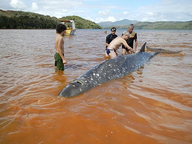 Baleia de 6 metros é carregada após encalhar na Oceania   (Foto: Operation Cetaces/AFP)
