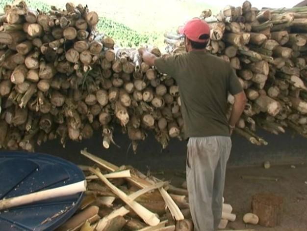 Palmito, antes de ser descascado (Foto: Reprodução/ TV Gazeta)