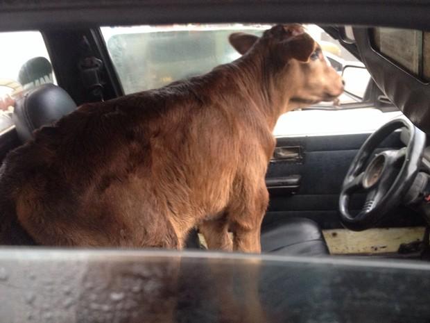 Animal foi encontrado dentro de carro (Foto: Rafael Menezes, divulgação/São Pedro Agora)
