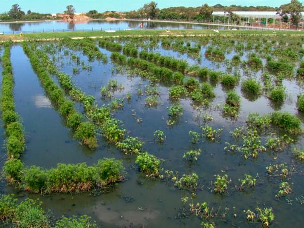 Plantas são usadas no lugar de produtos químicos na estação de tratamento de esgoto de Araruama (RJ) (Foto: Globo)