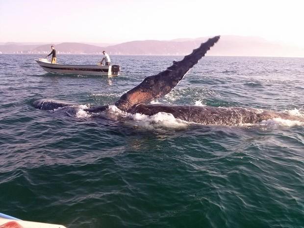Baleia Jubarte foi vista por pescadores em Mongaguá, SP (Foto: Cícero Barbosa / Arquivo Pessoal)