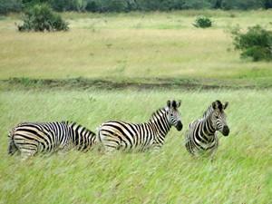 Zebras fotografadas durante safári na reserva de Phinda, na África do Sul (Foto: Matthew Craft/AP)