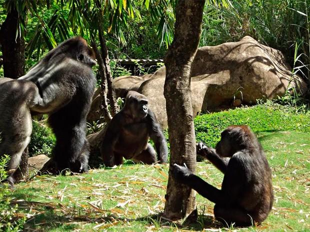 Gorilas Imbi, Lou Lou e Leon no recinto destinado à espécie no zoo de BH (Foto: Suziane Fonseca/Divulgação)