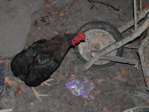 Mulher cria galinhas no quintal de sua casa (Foto: Marcelo Marques/G1)