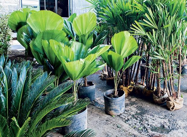 Na Dracena Plantas Ornamentais, palmeiras fênix, R$ 15, licualas, R$