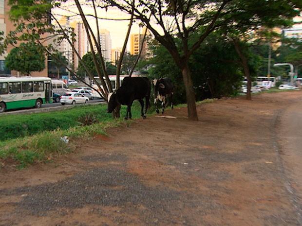 d42377198b68f Dois bovinos foram flagrados na manhã desta terça-feira (7) circulando nas  redondezas