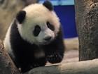 Filhote de panda será exibido em Zoo de Taiwan a partir de segunda
