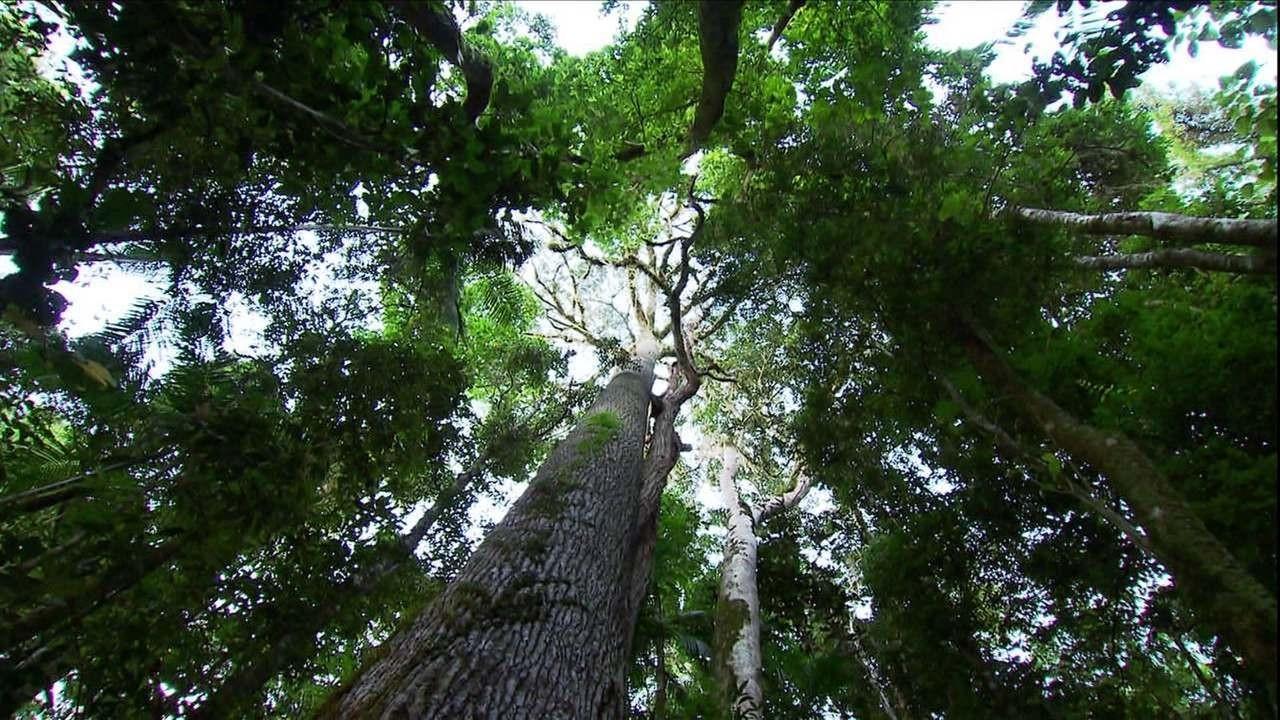 jequitibá-árvore-Tv (Foto: Reprodução/TV Globo )