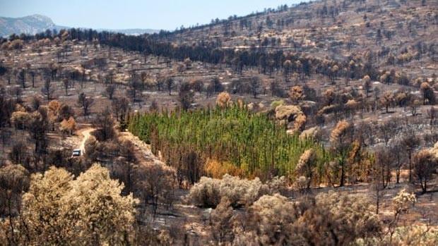 Dos mais de 940 ciprestes mediterrâneos da plantação do projeto CypFire em Valência, só 1,27% foi queimado no incêndio que aconteceu ali em 2012. Todas as outras espécies foram devastadas (Foto: Bernabe Moya/ BBC)