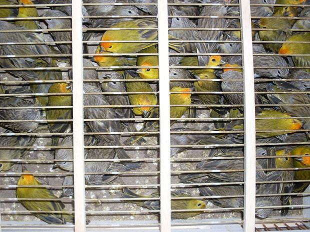 Pássaros apreendidos em Itabuna, Bahia (Foto: PRF/Divulgação)