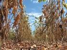 Com prejuízo de R$ 1 bi, produtores do oeste da Bahia buscam crédito