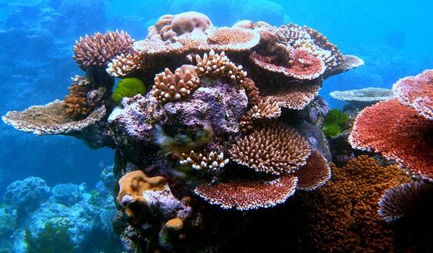 A riqueza das cores presentes nos corais é característica da Grande Barreira (Foto: Wikimedia Commons)