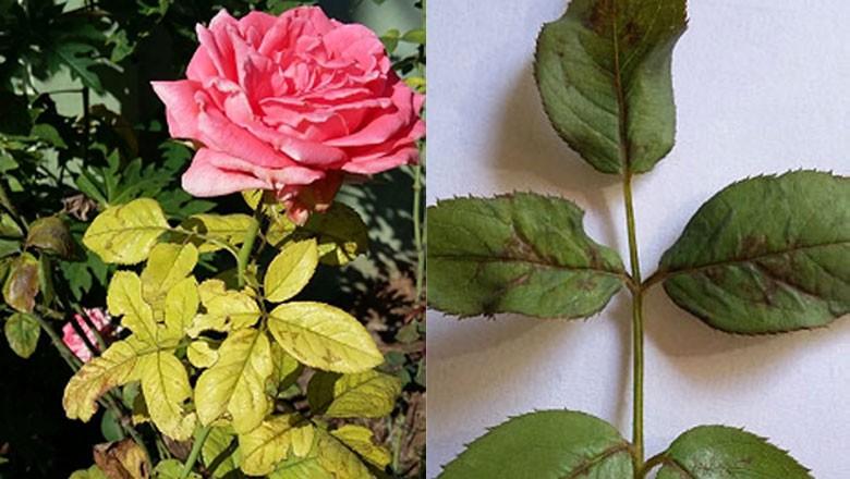 rosa-roseira-míldio-gr-responde (Foto: Alcione de Oliveira/Acervo pessoal)