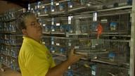 Evento com mostra de pássaros ocorre até este domingo no Parque de Exposições de Fortaleza
